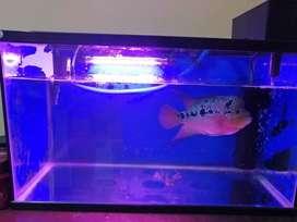 Ikan louhan / lohan