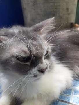 Persia medium,,kucing sehat terawat