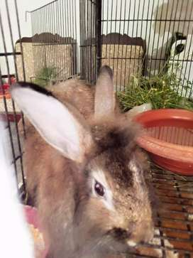 Giant Angoora Rabbit