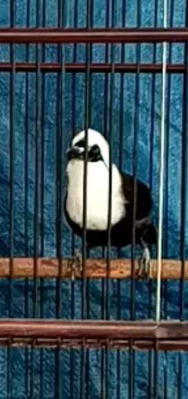 Burung hitam putih gacor