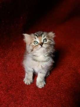 Ready kitten jantan persimed 3 bulan