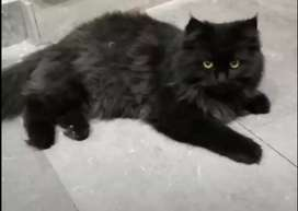 Persian cat  7 month. Black colour