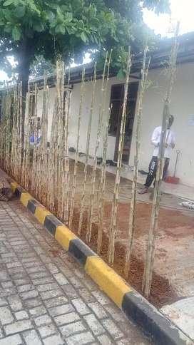 Jual pohon bambu jepang-tinggi 220cm.