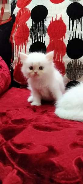White persian semi punch kittens