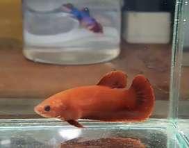 Ikan cupang betina