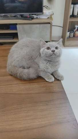 Kucing British Shorthair Ready Adop