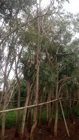 Jual pohon tabebuya-ready bunga kuning dan ungu tinggi 4-5 meter