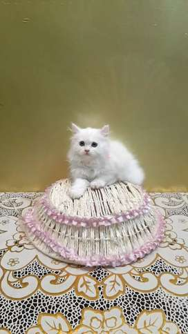 Pure breed Persian cat kitten sale all India delivery