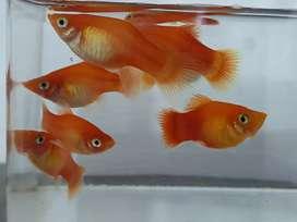 Ikan molly cocok untuk aquascape