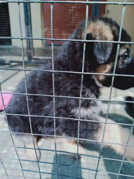 Gsd pup for sale