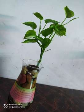 Very beautiful sow mony plant with pot for home decorate