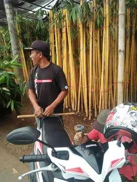 MhMenyediakan Berbagai tanaman hias bambu kuning-pohon bambu kuning