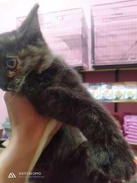 Kitten Persian mix mencoon
