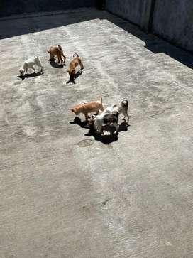 Jual Cepat Anak Anjing Campuran Terrier