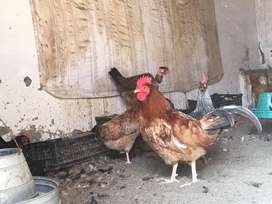 Hens for sale 1000