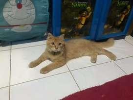 Kucing persia jantan kitten minat bisa chat wa