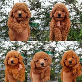 Red toy poodle,samoyed dll