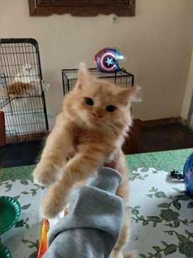 Kucing persia kitten
