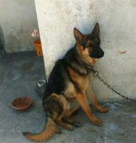 Pure german shepherd adult male for sale.