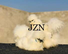 White silkie,black silkie chicks available in lahore
