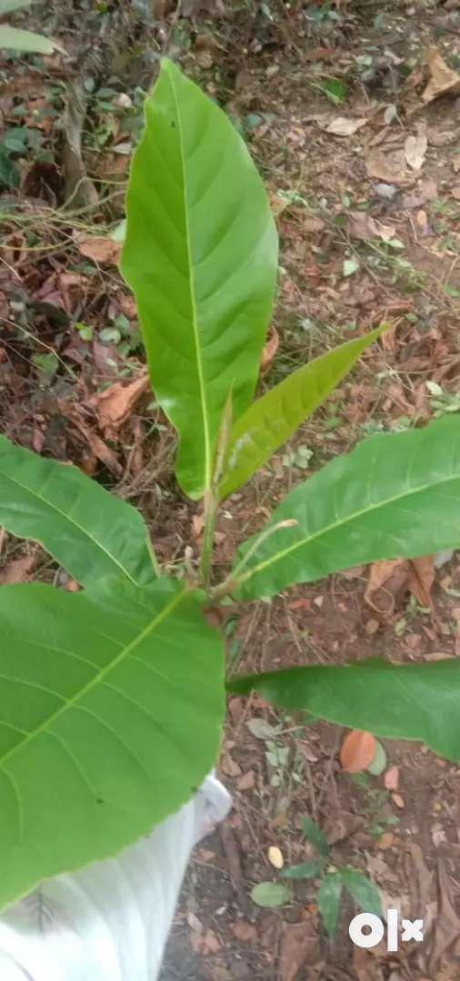 4 leaf badam leaf