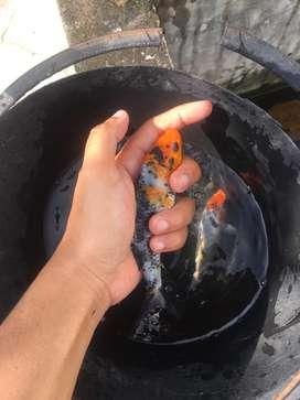 Ikan koi 15-18cm