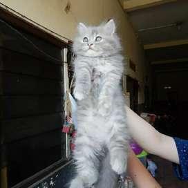 Kucing Kitten flatnose