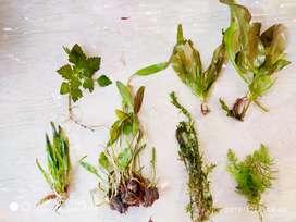 Live Aquarium plants for Planted aquarium