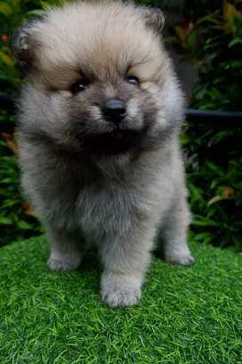 FOR SALE puppies, Anakan Pomeranian