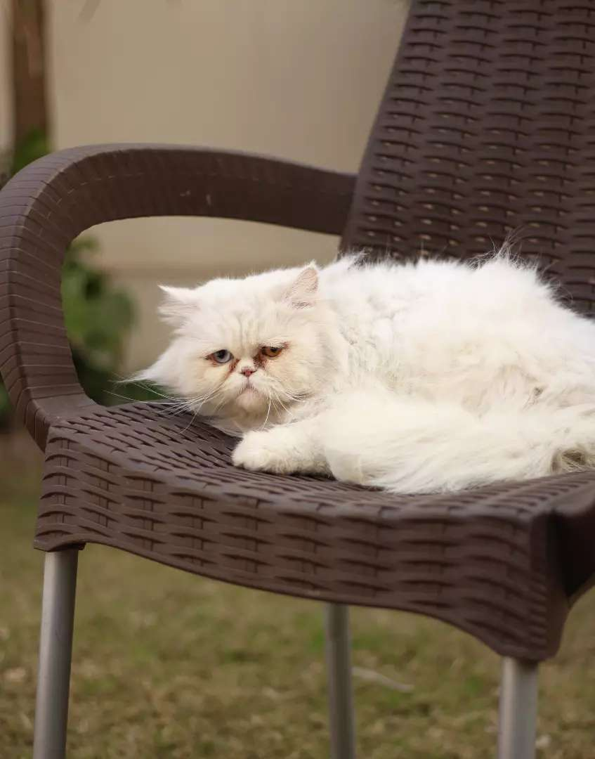 Persian cat extreme punch face 0