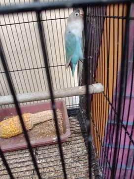 Lovebird sepasang plus anakan 1