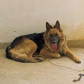 Army GSD Male