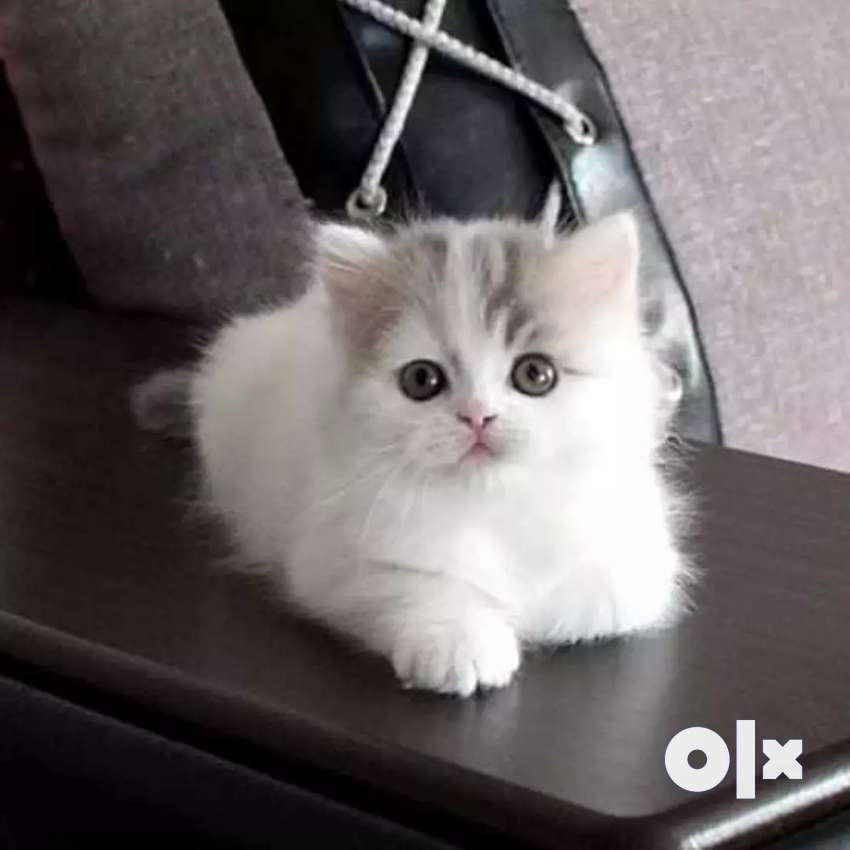 super quality Persian kittens for sale 0