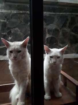 Kucing MAINECOON MURNI