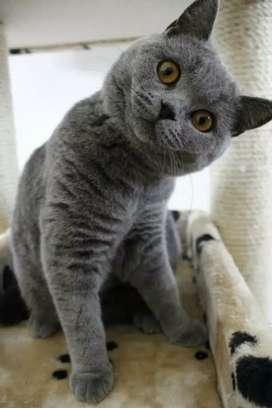 Kucing British short hair PED /sertifikat