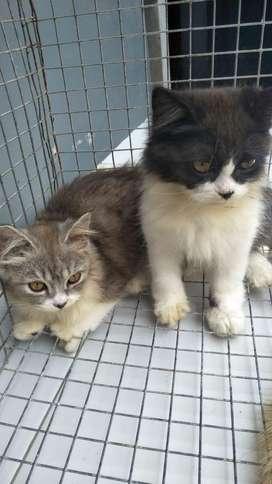 Open Adopsi Kucing Persia