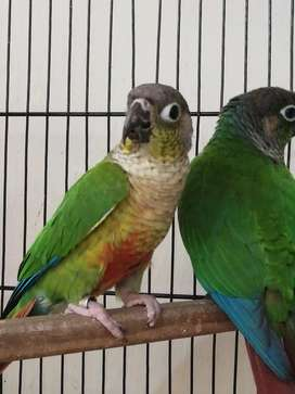 Yellow sided Conures pair with DNA certificate
