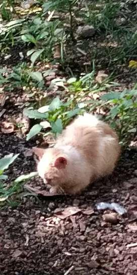 Mencari kucing kitten persia kisaran harga 200 rb ke bawah