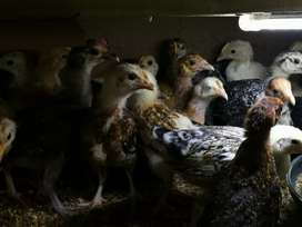 Desi Hens - 2 month old - Females Only
