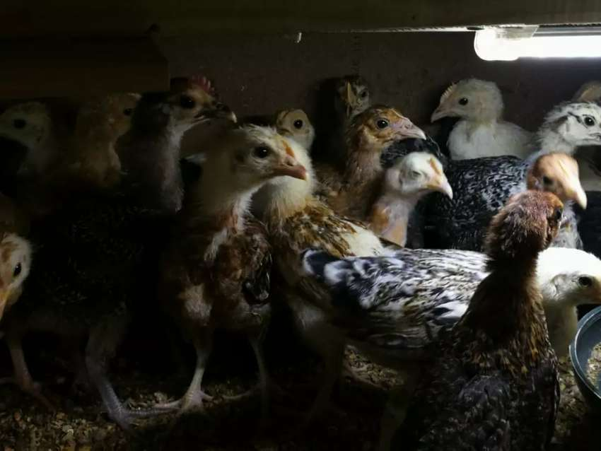 Desi Hens - 2 month old - Females Only 0