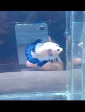 Ikan Cupang Blue Rim garaaaang