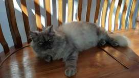 Kucing Pesek Peaknose Jantan Long Hair Abu Abu Gembul Terawat 6 Bulan