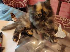 Persian cats for sale. 2 months old call on