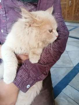 Persian cat Female for sell