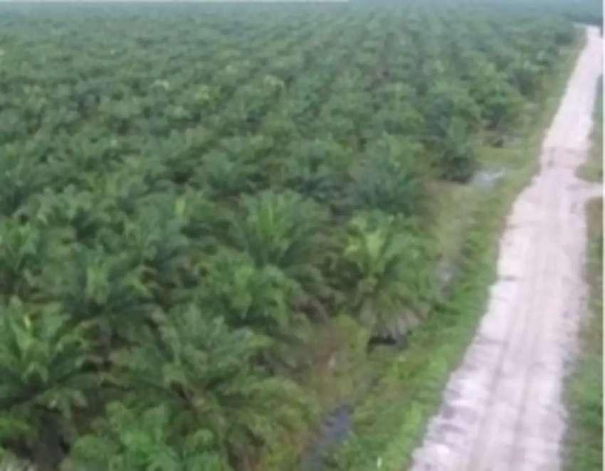 Dijual kebun sawit di kabupaten Banjar Kalimantan Selatan 0
