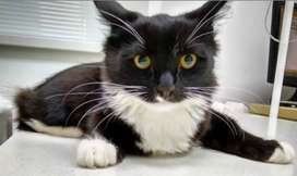 American Tuxedo cat bilkul saaf or healthy emergency selling