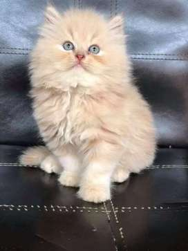 PERSIAN RAGDOLL HIMALAYAN SIAMESE KITTENS AND CATS AVAILABLE IN INDIA