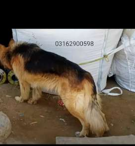 Double court German shepherd is available on very low price