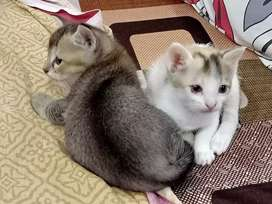 Domestic Kittens up for Adoption!