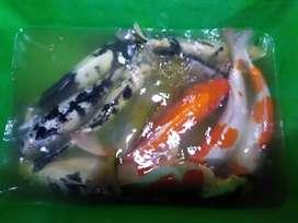 Ikan koi way kanan
